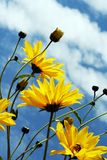Flower under the blue sky. Yellow flowers under the blue sky royalty free stock image