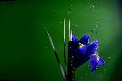 Flower under rain drops Stock Photo