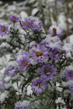 Flower under snow. Asters are covered with snow Royalty Free Stock Images