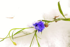 Flower under snow Royalty Free Stock Photos