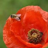 Flower under the sun. Flower under the . , , red, poppy stock photo