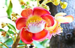A flower from the unusual cannonball tree Royalty Free Stock Image