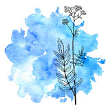 Flower of valerian at watercolor background. Vector flower of valerian at blue watercolor background, hand drawn medical herb, line drawing plant, isolated Stock Image