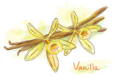 Flower vanilla with dried pods. Watercolor style. Illustration Royalty Free Stock Image