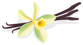 Flower vanilla. Dried pods. Vector illustration. Royalty Free Stock Images