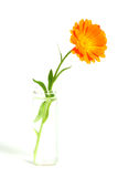 Flower in a vase. Orange flower in a vase with water Royalty Free Stock Photography
