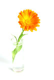 Flower in a vase. Orange flower in a vase with water Stock Photography