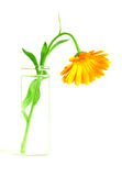 Flower in a vase. Orange flower in a vase with water Royalty Free Stock Images