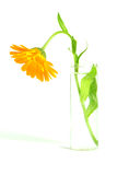 Flower in a vase. Orange flower in a vase with water Royalty Free Stock Photo