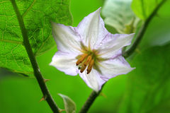 Flower of vegetable Brinjal Royalty Free Stock Photography