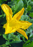 Flower vegetable marrow ( zucchini) Royalty Free Stock Image