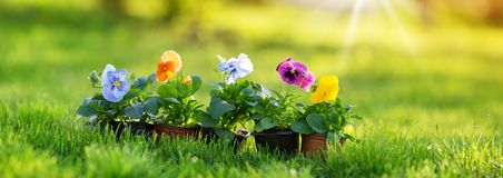 Flower and vegetable seedlings growing in the garden. Seedlings growing in the soil at the garden. pansy flowers on the grass in spring royalty free stock photography