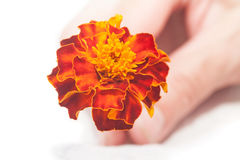 Flower velvet ribbon in hand Stock Photography