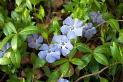 Flower  vinca. Macro  image flower blue vinca Royalty Free Stock Photography