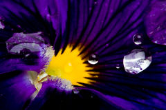 Flower Viola macro Royalty Free Stock Photo
