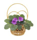 Flower viola in wicker on white. Blooming senpolia Silent Prayer in wattled basket isolated Stock Photography