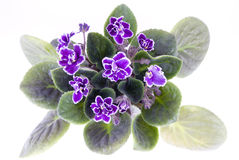 Flower  violet Royalty Free Stock Photography