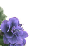 Flower of a violet Stock Photo