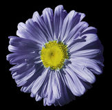 Flower violet-blue Chamomile on black isolated background with clipping path. Daisy purple-yellow with droplets of water for desig Royalty Free Stock Photography