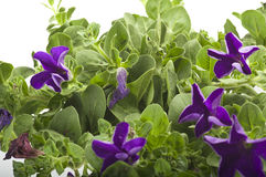 Flower of violet color Royalty Free Stock Photos
