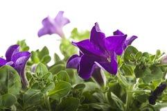 Flower of violet color Stock Images