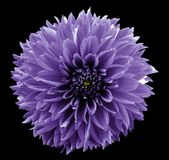 Flower  violet dahlia. Black isolated background with clipping path.   Closeup.  no shadows.  For design. Nature Royalty Free Stock Image