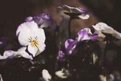 Flower, Violet, Flowering Plant, Plant Stock Images