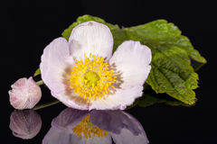 Flower of  violet Japanese anemone isolated  on black background Royalty Free Stock Images