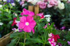 Flower with violet pink petals Royalty Free Stock Photography