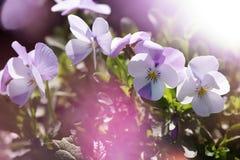 Flower, Violet, Purple, Flowering Plant Royalty Free Stock Image