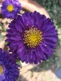 Flower. Violet sun flower royalty free stock photography