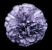 Flower violet-white carnation  on the black isolated background with clipping path.   Closeup.  No shadows.  For design. Nature Royalty Free Stock Image