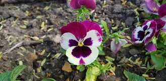 Flower. Violet and white flower from garden Stock Images