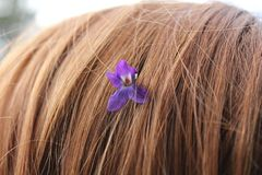 A flower of violets in red hair. Spring photo for your design. royalty free stock images