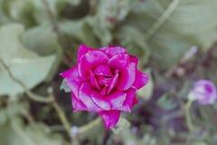 Flower vivid pink rose in garden top view Royalty Free Stock Image