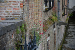 Flower on the wall. Of old house in the center of Brugge Stock Photography