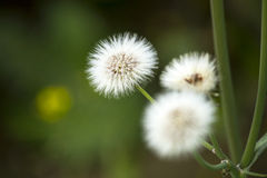 Flower - wallpapers. Shot at near indore field Royalty Free Stock Photos