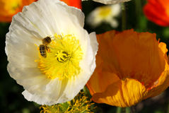 Flower with wasp. Macro shots of white and orange flowers with wasp royalty free stock image