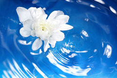 Flower and water. White flower flowing on a blur water. Shallow depth of field added by macro lens for natural view Stock Image