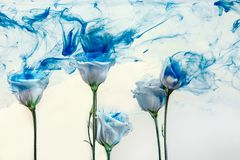Flower water blue background white inside under paints acrylic rose smoke streaks. White poses inside in water on a white background. Flowers is under the water Stock Images