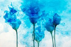 Flower water blue background white inside under paints acrylic rose smoke streaks. White poses inside in water on a white background. Flowers is under the water Royalty Free Stock Photo