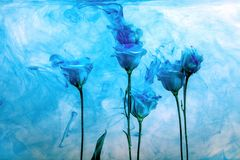 Flower water blue background white inside under paints acrylic rose smoke streaks. White poses inside in water on a white background. Flowers is under the water Stock Image