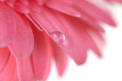 Flower with water drop. Soft focus. Royalty Free Stock Photography