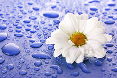 Flower and water drops Stock Photography