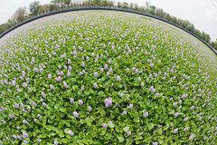 Flower of Water Hyacinth field photographed by a lens Fish eye Stock Images
