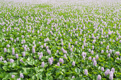 Flower of Water Hyacinth field in Thailand Royalty Free Stock Photo
