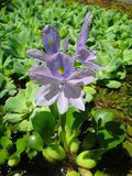 Flower of water hyacinth or water orchid Royalty Free Stock Images