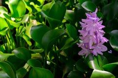 Flower of Water Hyacinth tree royalty free stock image