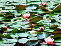 flower, water, lily, pond, lotus, pink, nature, green, waterlily, lake, plant, leaf, garden, flora, water lily, blossom, flowers, Royalty Free Stock Photography