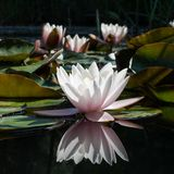 Flower water lily Stock Photo